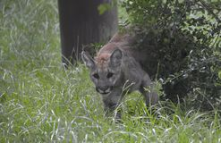Florida Panther. Seven month old Florida Panther Stock Photography