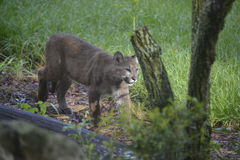 Florida Panther Royalty Free Stock Images