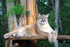 Florida Panther sitting in Enclosure Stock Photos