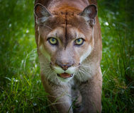 Florida panther stares at camera. Close up Stock Photos