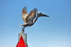 Florida pelican Stock Photos