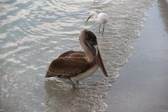 Florida Pelican Royalty Free Stock Photo