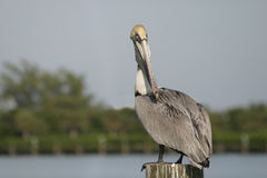 Florida Pelican on a post 6192 Royalty Free Stock Images