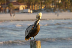 Florida Pelican Watching the Sea Stock Images