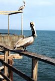 Florida Pelicans on mooring 1999 Stock Photography