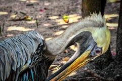 Florida pelikan arkivbilder