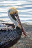 florida pelikan Fotografering för Bildbyråer