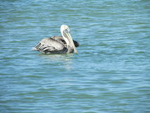 florida pelikan Arkivbild