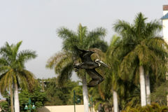 florida pelikan Arkivfoton