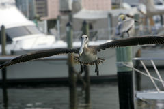 florida pelikan Royaltyfri Bild