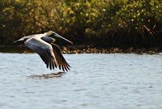 Florida-Pelikan stockfotos