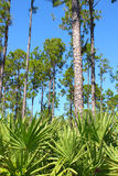 Florida Pine Flatwoods Stock Image