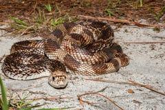 Florida Pine Snake Pituophis melanoleucus mugitus. A Florida Pine Snake basking on the ground in Florida Royalty Free Stock Image
