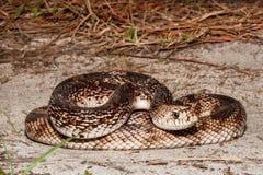 Florida Pine Snake Pituophis melanoleucus mugitus. A Florida Pine Snake basking on the ground in Florida Royalty Free Stock Photography