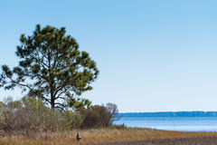Florida pine tree at ocean bay stock photos