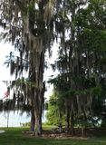 Florida Pine Trees. Florida pines with Spanish moss and quiet place to rest Royalty Free Stock Photos
