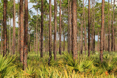 Florida Pinelands Stock Photos