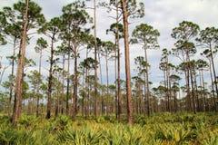 Florida Pinelands Royalty Free Stock Photos