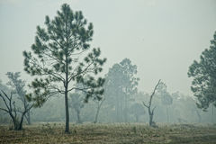 Florida Pines in Smoke During Controlled Burn. Pine trees and other foliage and grasses during a nearby controlled burn, Central Florida near Sebring stock photography