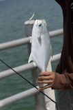 Florida Pompano fish on an angler`s line. A Florida Pompano fish on an anglers line having been caught from a pier on the Gulf of Mexico Florida USA Royalty Free Stock Images