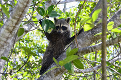 Florida raccoon Royalty Free Stock Image