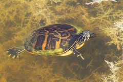 Florida Red-bellied Cooter (Pseudemys Chrysemys nelsoni) Stock Photo