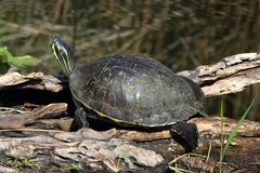 Florida Red-bellied Cooter (Pseudemys Chrysemys nelsoni) Royalty Free Stock Images
