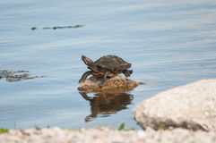 Florida red-bellied cooter turtle Royalty Free Stock Photos