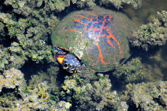 Florida Red-bellied Turtle Royalty Free Stock Photography