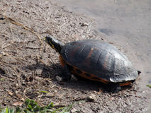 Florida Red-Bellied Turtle Stock Images