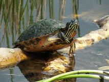 Florida Red-bellied Turtle (Pseudemys nelsoni) Stock Image