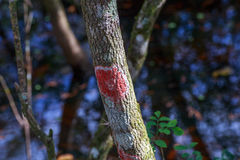 Florida Red Blanket Lichen. Example of red blanket lichen growing on a small hardwood tree stock image