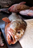 Florida Red Grouper Stock Images