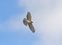 Florida Red-shouldered Hawk Stock Photography