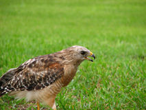 Florida Red Shouldered Hawk. Profile of a Florida Red Shouldered Hawk with Beak Open in Grass Stock Photography