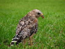Florida Red Shouldered Hawk. Close Up of a Florida Red Shouldered Hawk standing in a field of grass, holding a chunk of meat Stock Photos