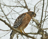 Florida Red Shouldered Hawk squawking Royalty Free Stock Photography