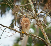Florida Red Shouldered Hawk squawking. Red shouldered hawk perched in a tree in florida royalty free stock photo