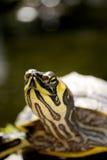 Florida redbelly turt royalty-vrije stock fotografie