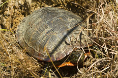Florida Redbelly Turtle Laying Eggs Royalty Free Stock Photography