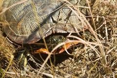 Florida Redbelly Turtle Laying Eggs Royalty Free Stock Image
