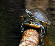 Florida Redbelly Turtle - Pseudemys Nelsoni. Florida Redbelly Turtle sunning on log Royalty Free Stock Image