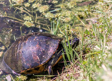 Florida Redbelly Turtle  (Pseudemys nelsoni) Stock Photos