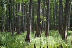 Florida sörjer träd Royaltyfri Foto