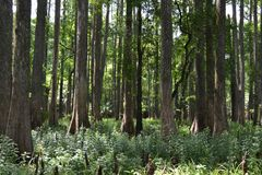 Florida sörjer träd Arkivfoto