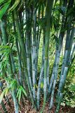 Florida's Bamboo Stock Photography