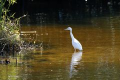 Great White Egret feeing in shallow water Royalty Free Stock Images