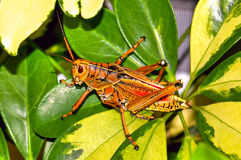 Florida's Giant Orange Lubber Grasshopper Royalty Free Stock Photography