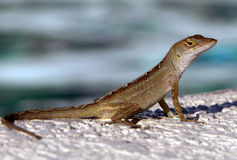 Florida's Lizard Stock Image