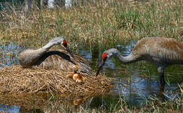 Florida sandhill crane and baby royalty free stock photo